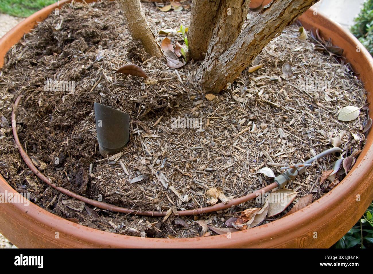 Irrigazione A Goccia Per Vasi Di Feijoa Tree Foto Immagine