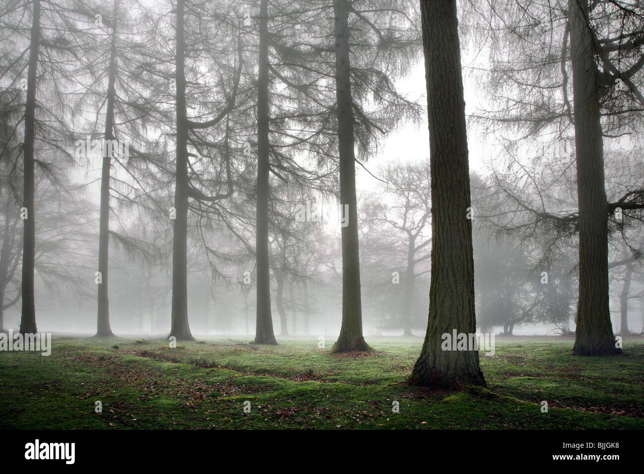 Misty Woodland Immagini Stock