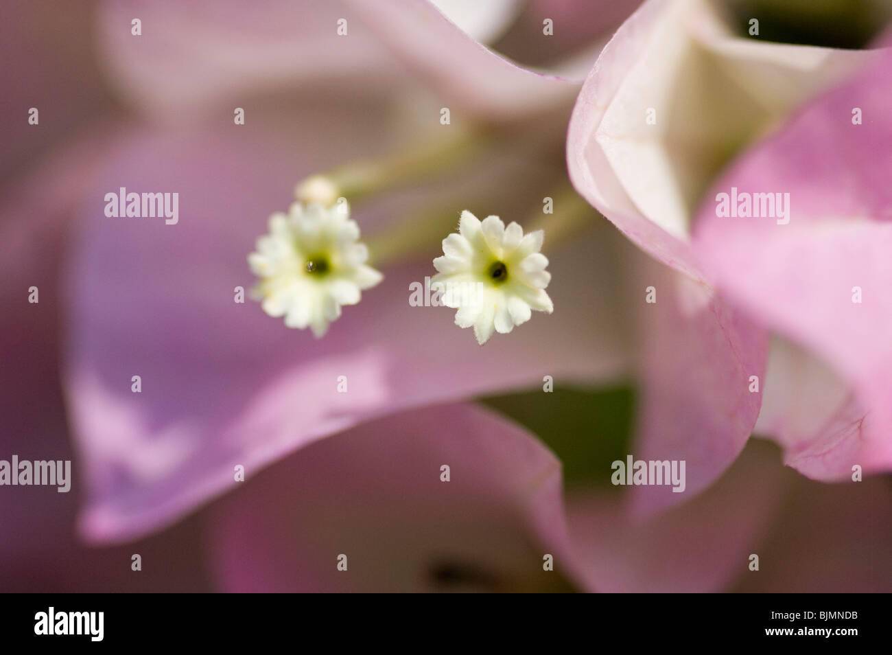 Il Bougainvillea soft focus fiori di colore rosa che mostra la sezione centrale del fiore. Immagini Stock