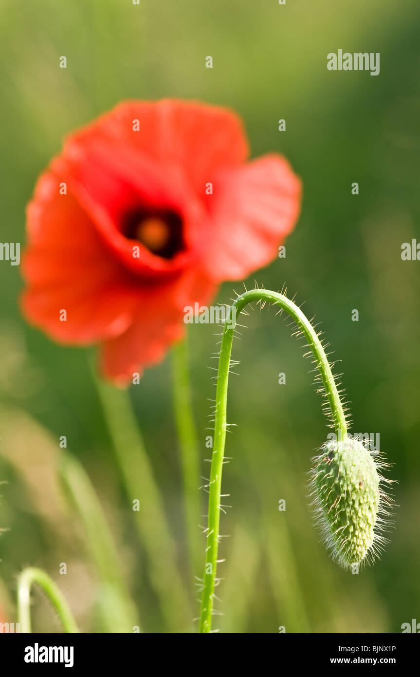 Papavero rosso fiore close up Immagini Stock