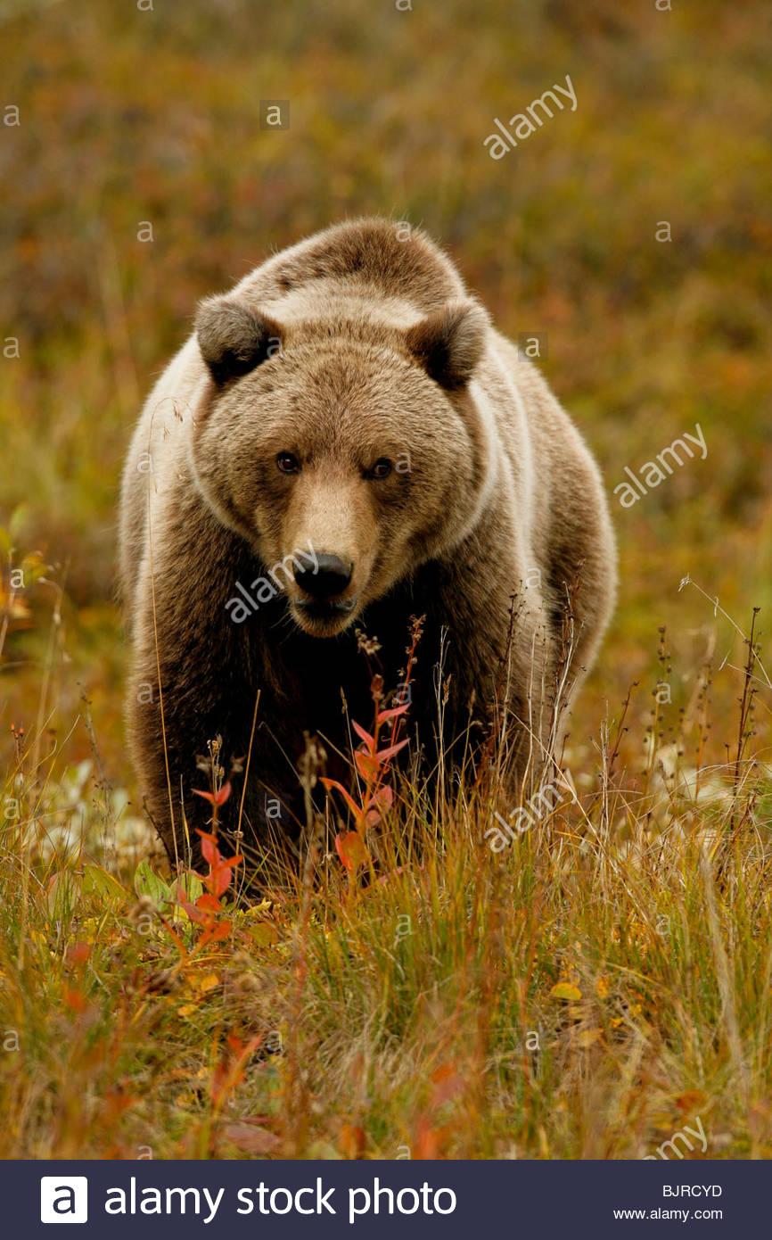 Orso grizzly, Ursus arctos, caduta, alimentazione, tundra alpina, Parco Nazionale di Denali, Alaska. Immagini Stock