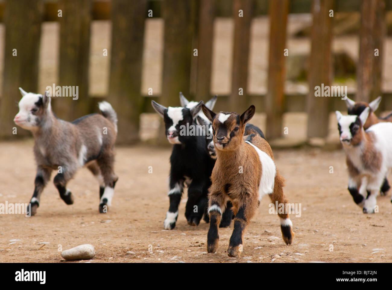 Carino in esecuzione baby capre Immagini Stock