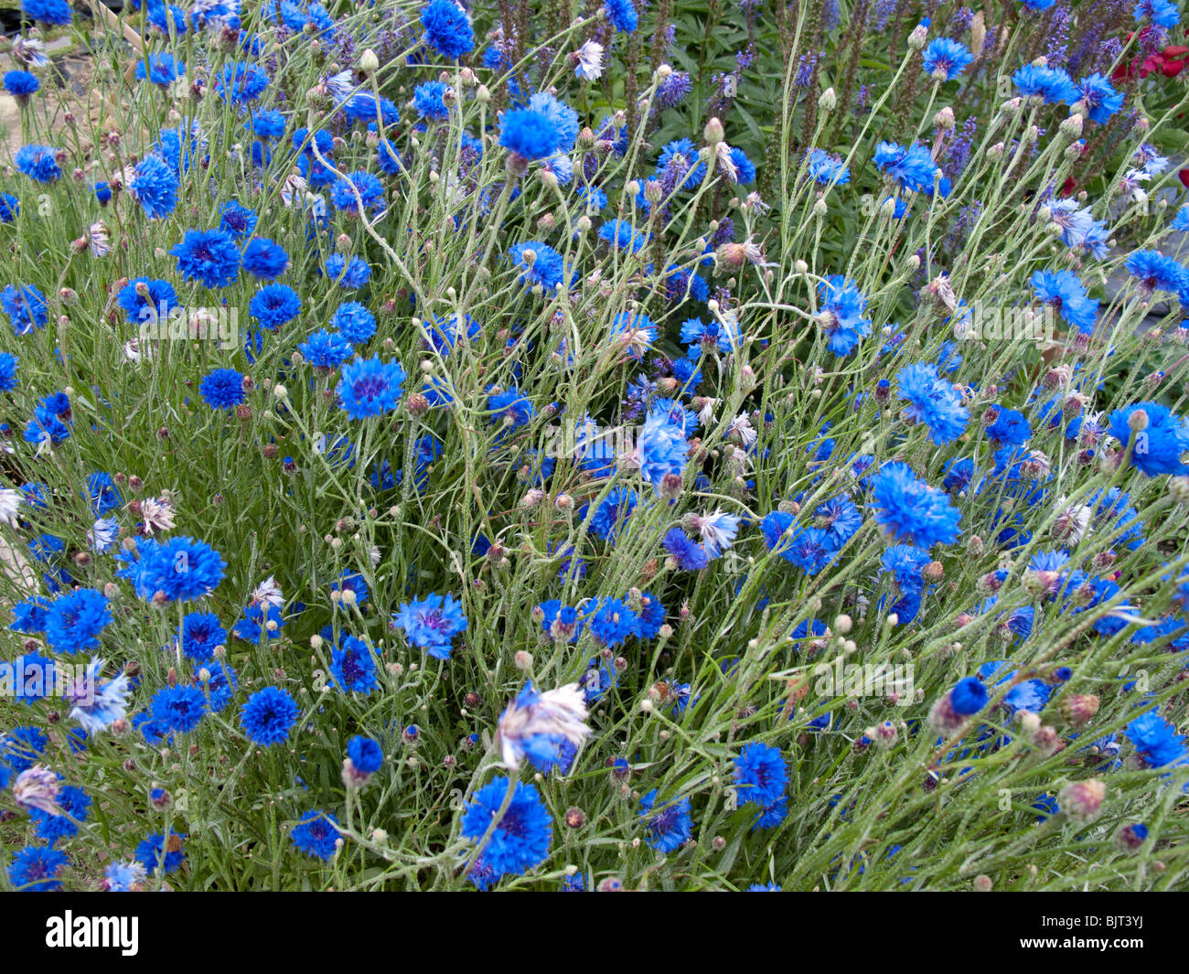 Centaurea cyanus (Fiordaliso, Laurea pulsante, Bluebottle, Boutonniere flower, Hurtsickle) Immagini Stock