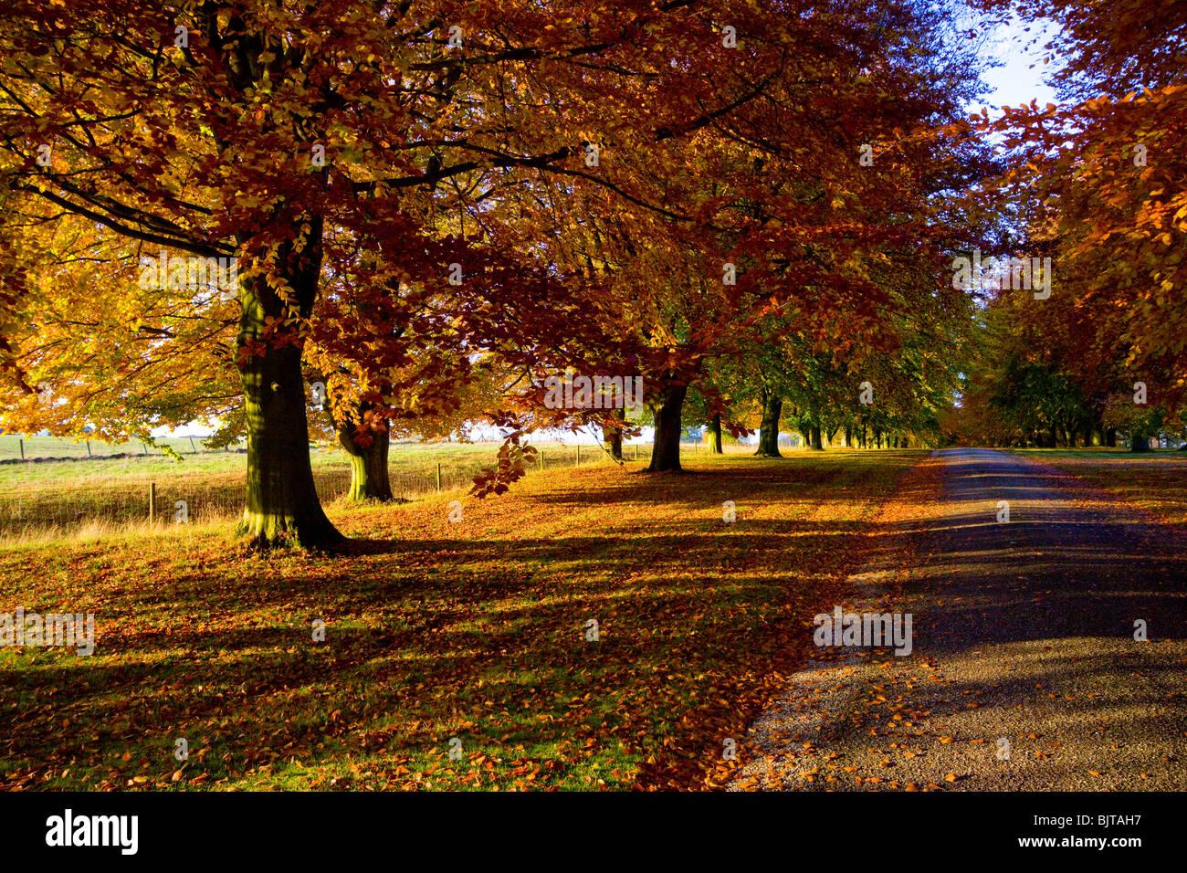 Autunno alberi faggio Chequers Buckinghamshire Immagini Stock