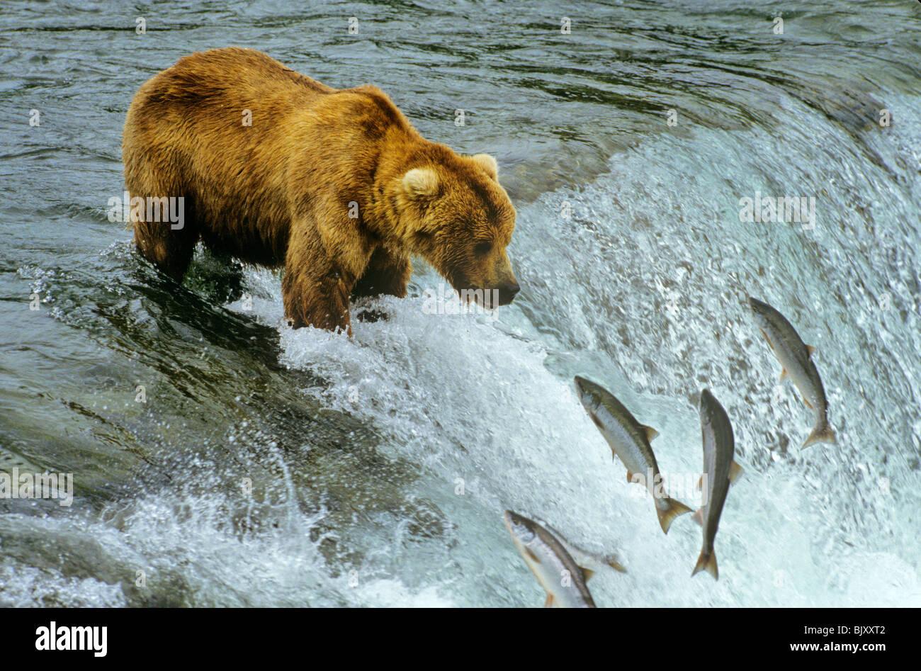 Alaska Orso Bruno per la pesca del salmone al Brooks Falls sul fiume Brooks in Katmai National Park, Alaska, STATI Immagini Stock