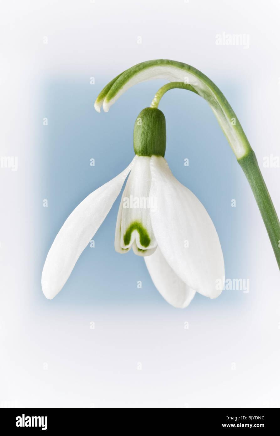 Snowdrop GALANTHUS sfocato sfondo blu Immagini Stock
