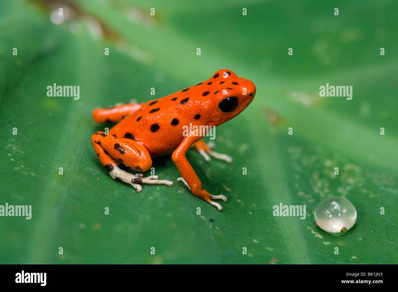 Red Dart (Rana Dendrobates pumilio), Panama Immagini Stock