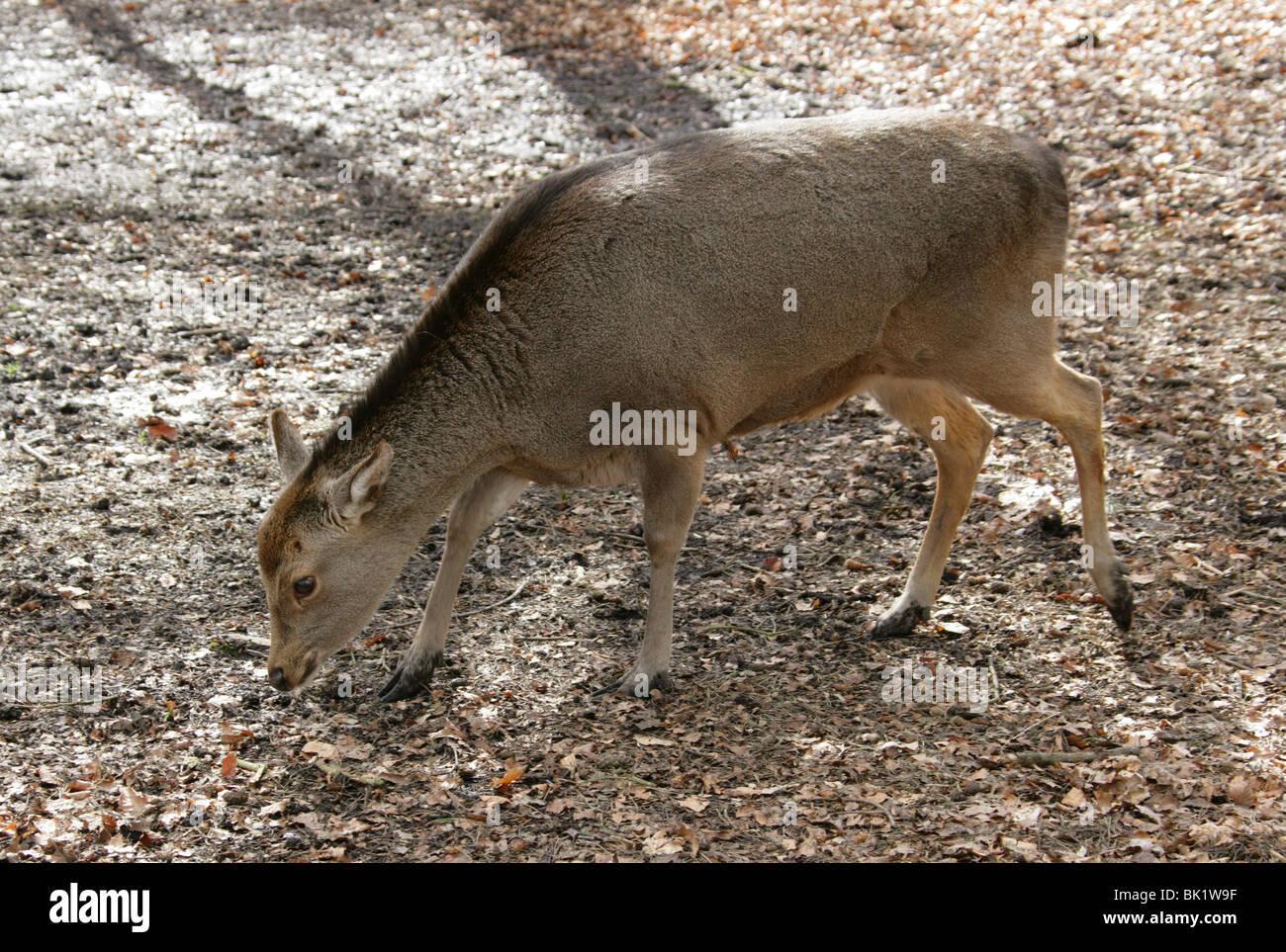 Cervi Sika, Cervus nippon nippon, Cervidae. Femmina femmina del cervo. Immagini Stock