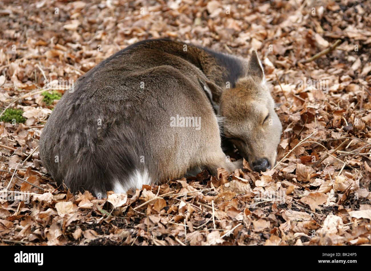 Sika Deer Fawn, Cervus nippon nippon, Cervidae. Immagini Stock