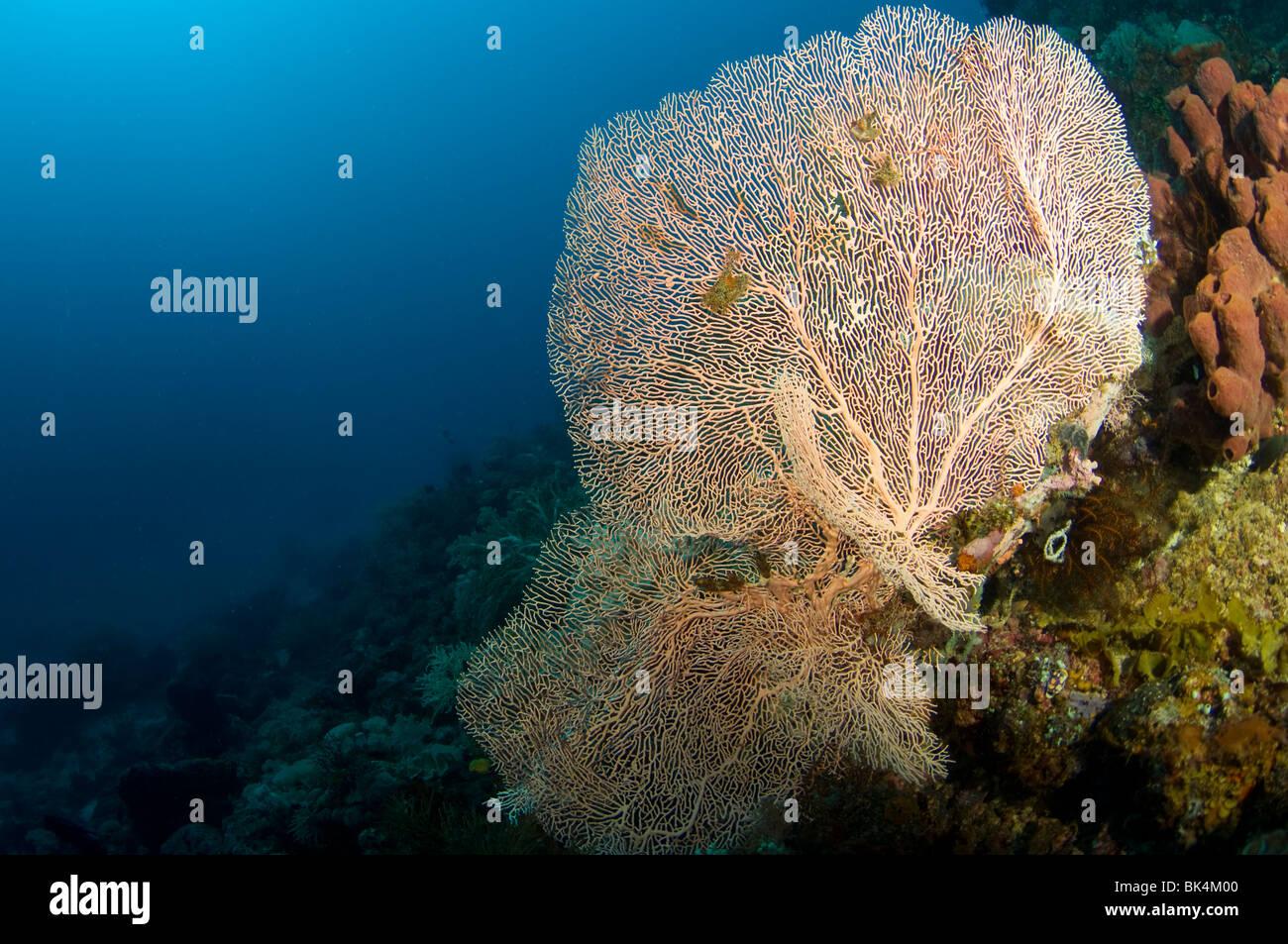 Ventilatore di mare tropicale sulla barriera corallina, Sabolo Kecil Island, il Parco Nazionale di Komodo, Indonesia Immagini Stock