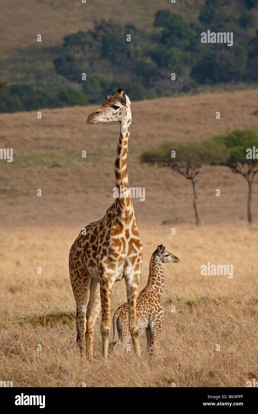 La madre e il bambino Masai Giraffe (Giraffa camelopardalis tippelskirchi) pochi giorni vecchio, il Masai Mara riserva Immagini Stock