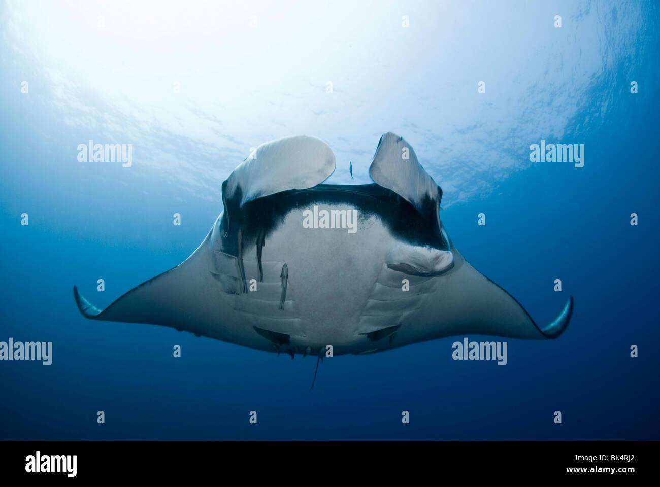 Manta ray, arcipelago Mergui, la Birmania, il Mare delle Andamane, Oceano Indiano Immagini Stock
