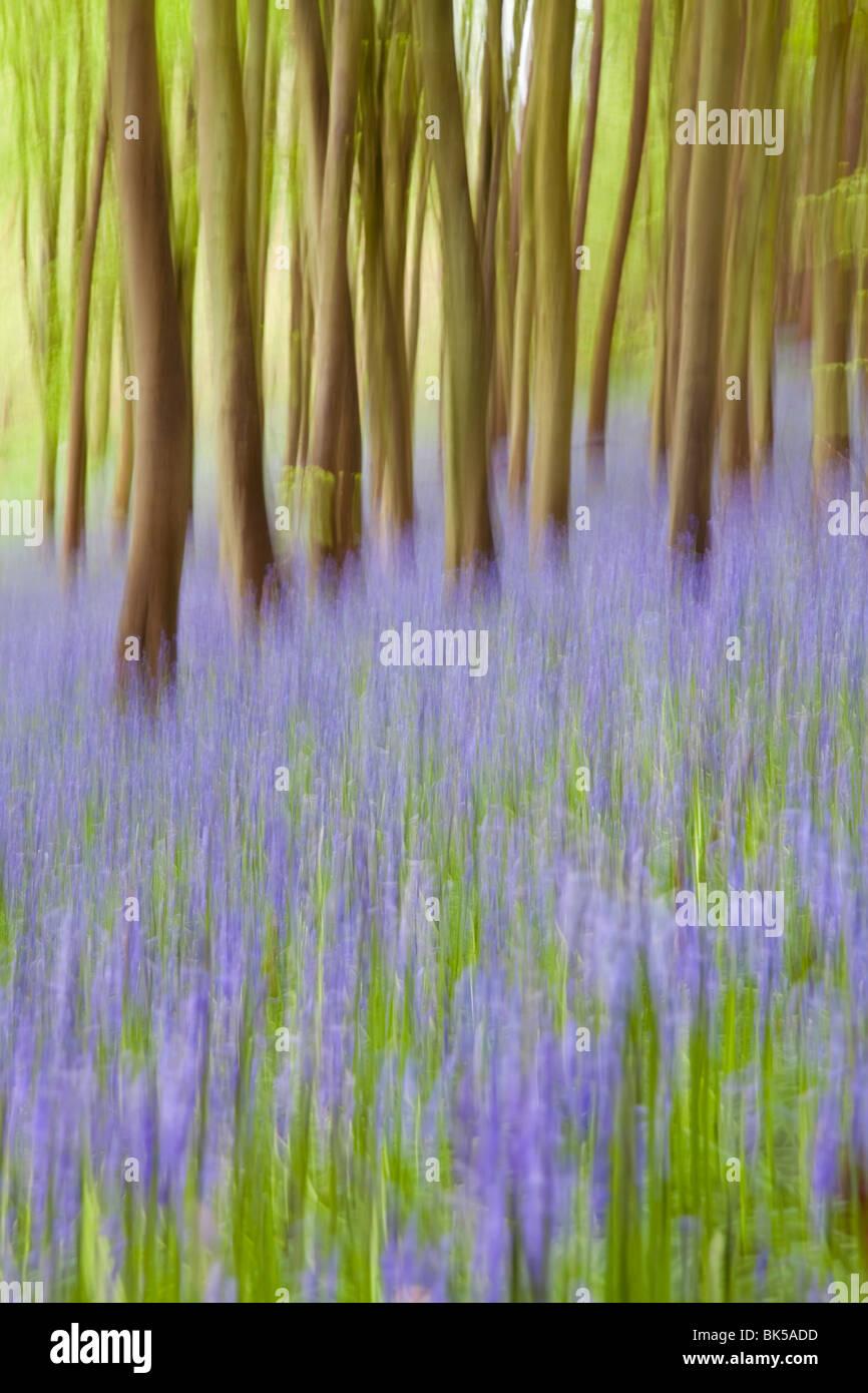 Bluebell boschi, Somerset, Inghilterra, Regno Unito, Europa Immagini Stock