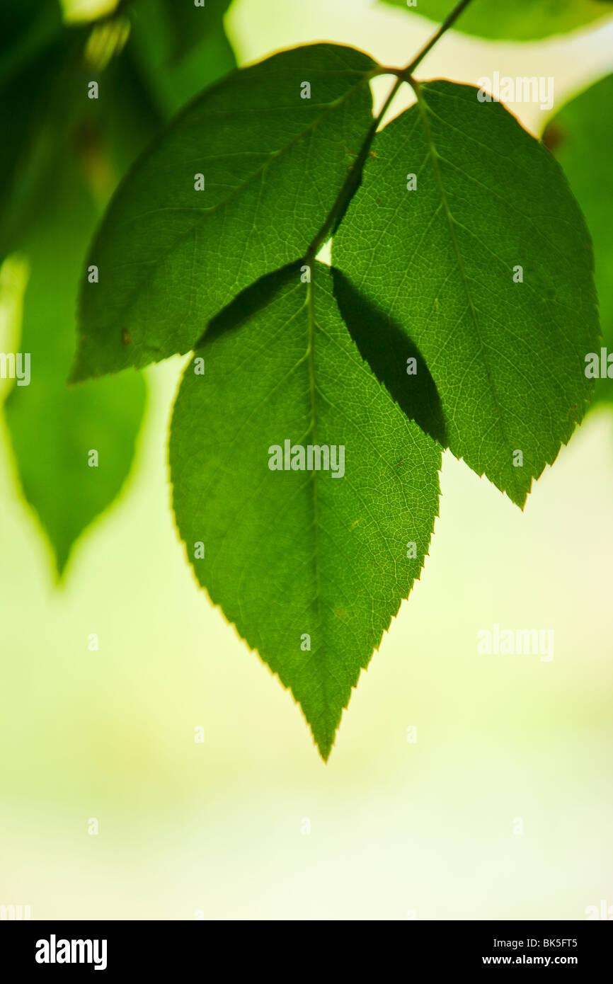 Foglie verdi sullo sfondo Immagini Stock
