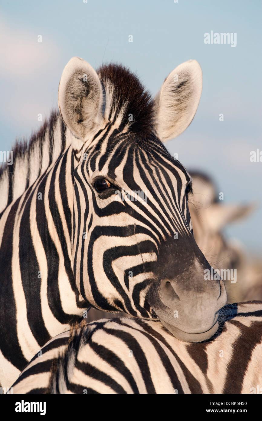 La Burchell zebra (Equus burchelli), riposo, il Parco Nazionale di Etosha, Namibia, Africa Immagini Stock