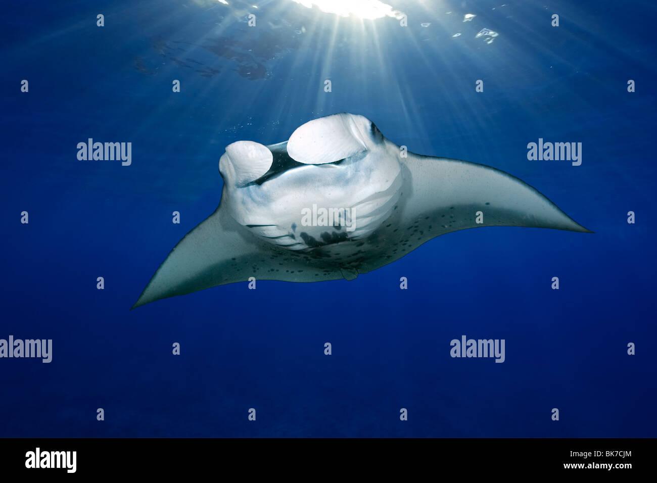 Manta ray, Manta birostris, nuoto con raggi solari, Kailua-Kona, Big Island delle Hawaii, Immagini Stock