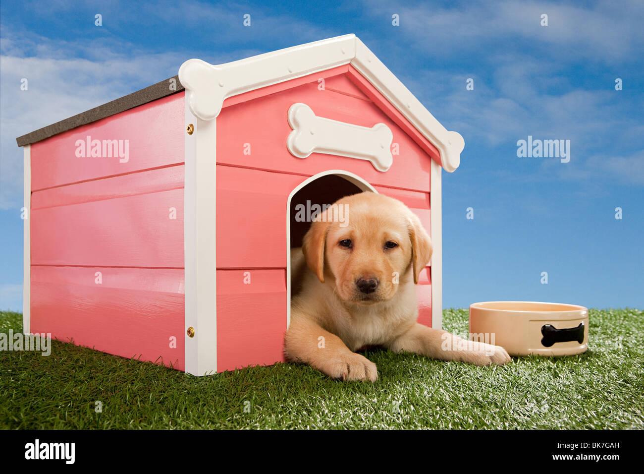 Cucciolo di Labrador in canile Immagini Stock