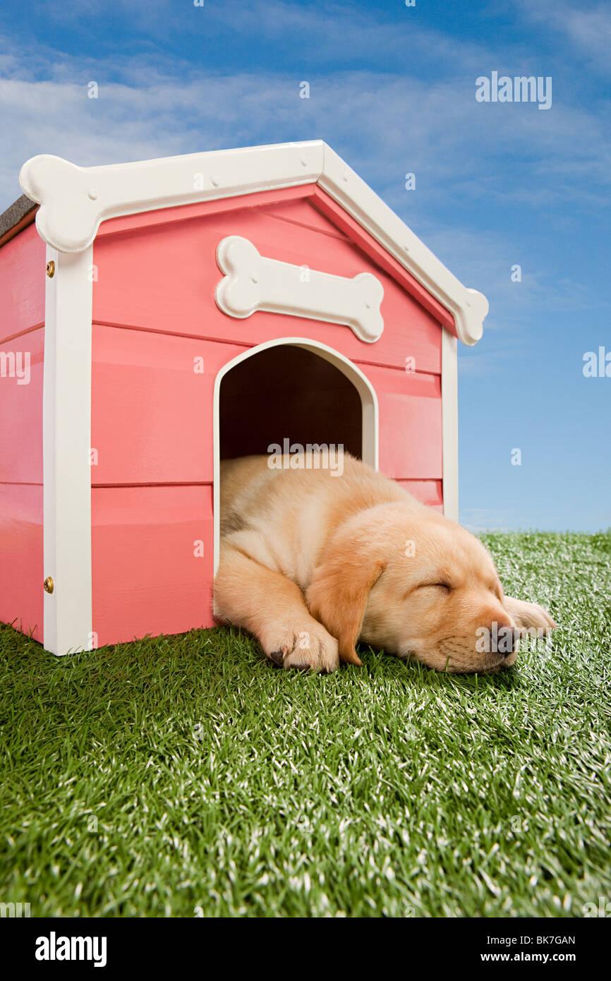 Il Labrador cucciolo addormentato in canile Immagini Stock
