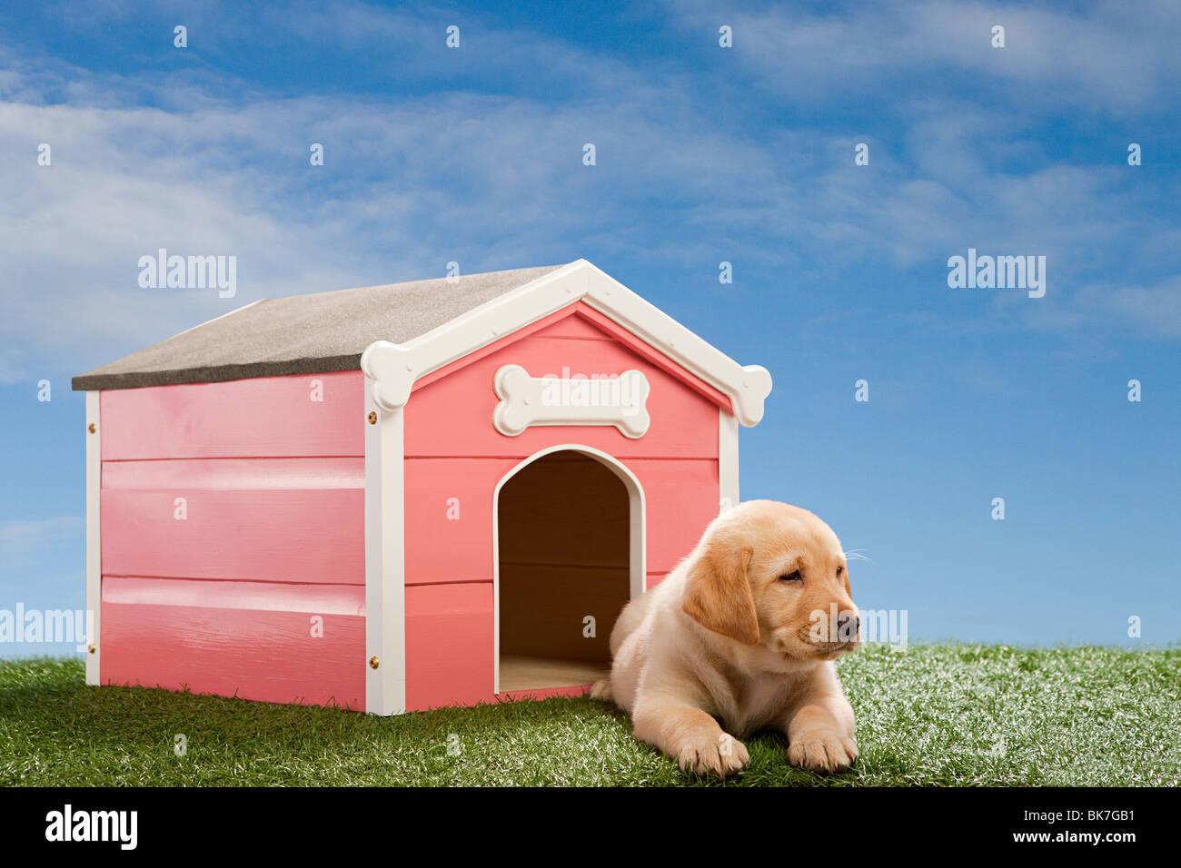 Cucciolo di Labrador dal canile Immagini Stock