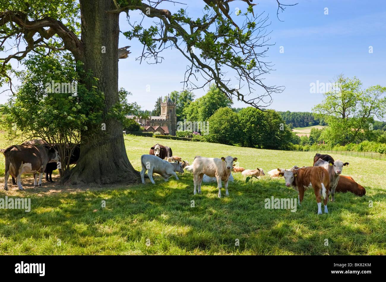 Surrey, Inghilterra, Regno Unito - vacche da latte sfumature dal sole estivo vicino Albury con chiesa in background Immagini Stock
