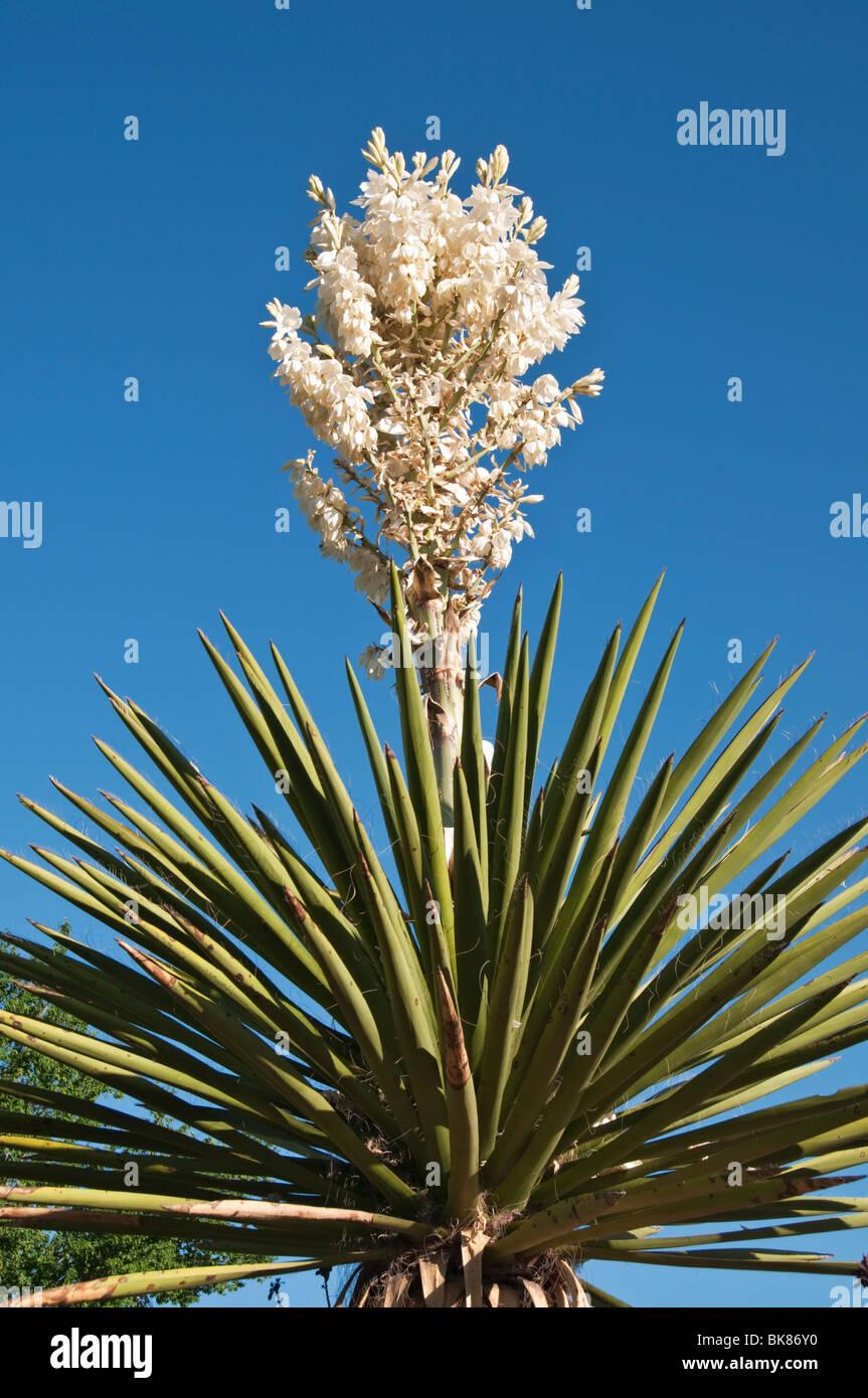Texas, maratona, Gage Hotel Giardini, Yucca elata blooming Immagini Stock