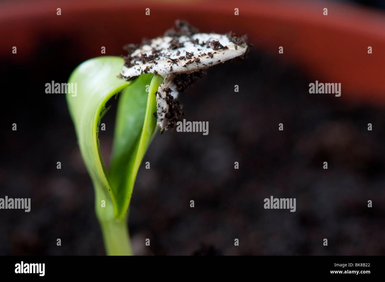 La zucchina 'Midnight' pianta ibrida piantine scartando il suo seme caso. Regno Unito Immagini Stock