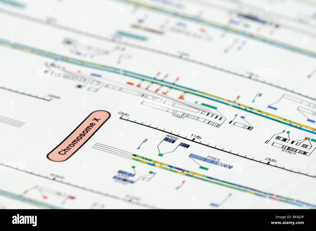 Genoma umano mappa focalizzata sul cromosoma X. Immagini Stock