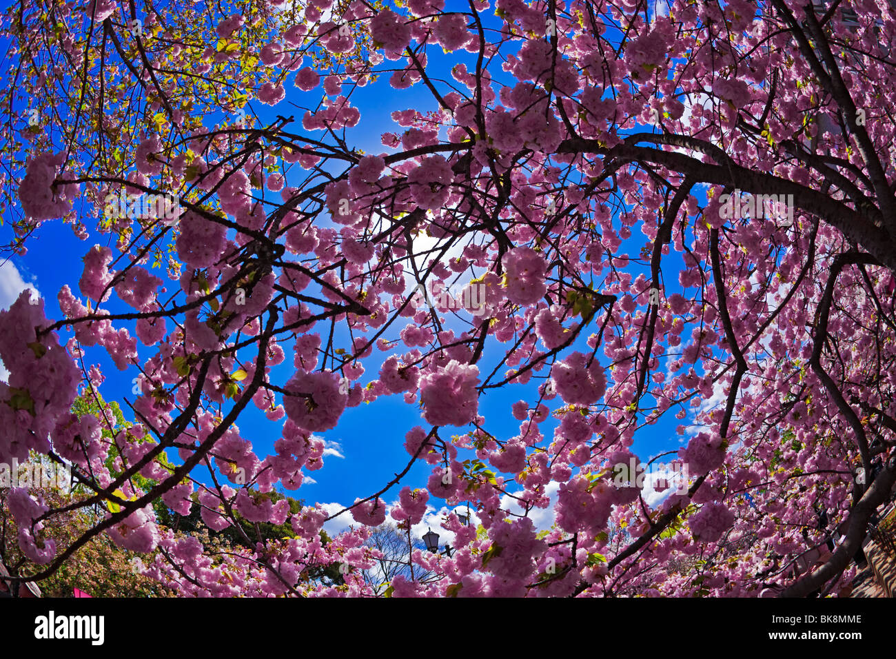 Sakura hanami Cherry Blossoms Osaka in Giappone Immagini Stock