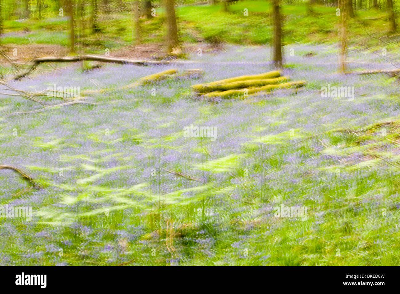 Bluebells nella primavera del bosco Ambleside Cumbria Regno Unito come molte piante sono la risposta al cambiamento Immagini Stock