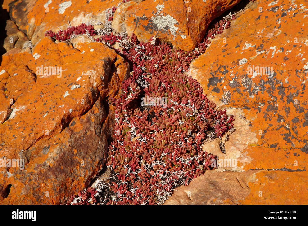 Lichene arancione su rocce rosse e succulenta, West Point, North Western Tasmania, Australia Immagini Stock