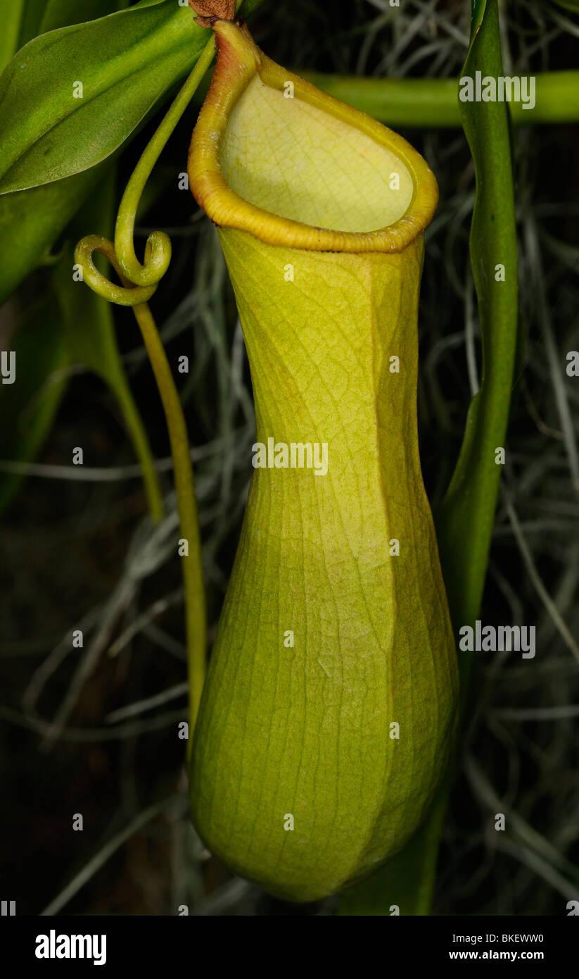 Pianta brocca nepenthes un vitigno e carnivori di pianta tropicale Immagini Stock