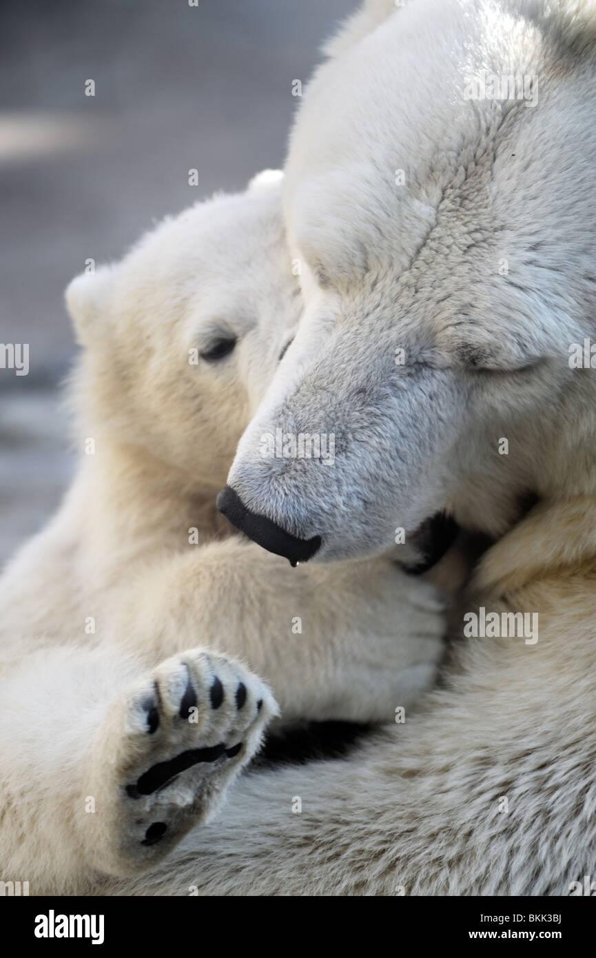 Piccolo Orso polare cub a giocare con la sua mamma Immagini Stock