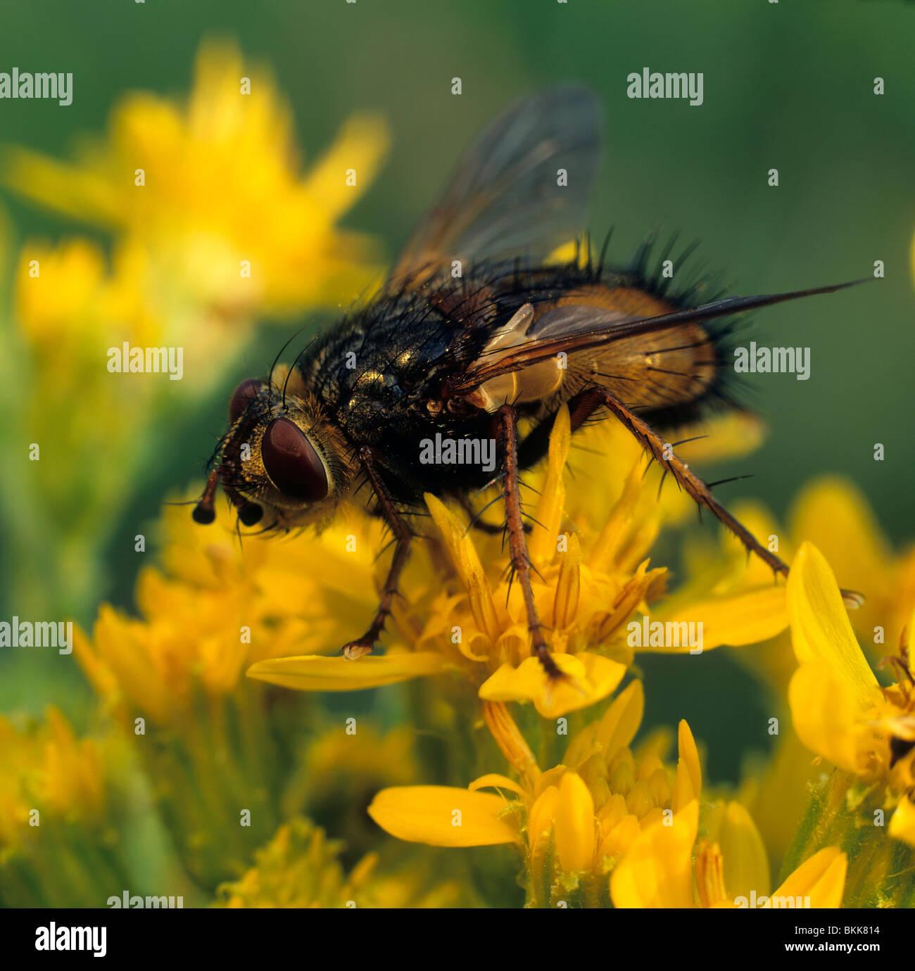 Tachinid Fly, febbre Fly (Tachina fera), Adulto su di un fiore giallo. Immagini Stock