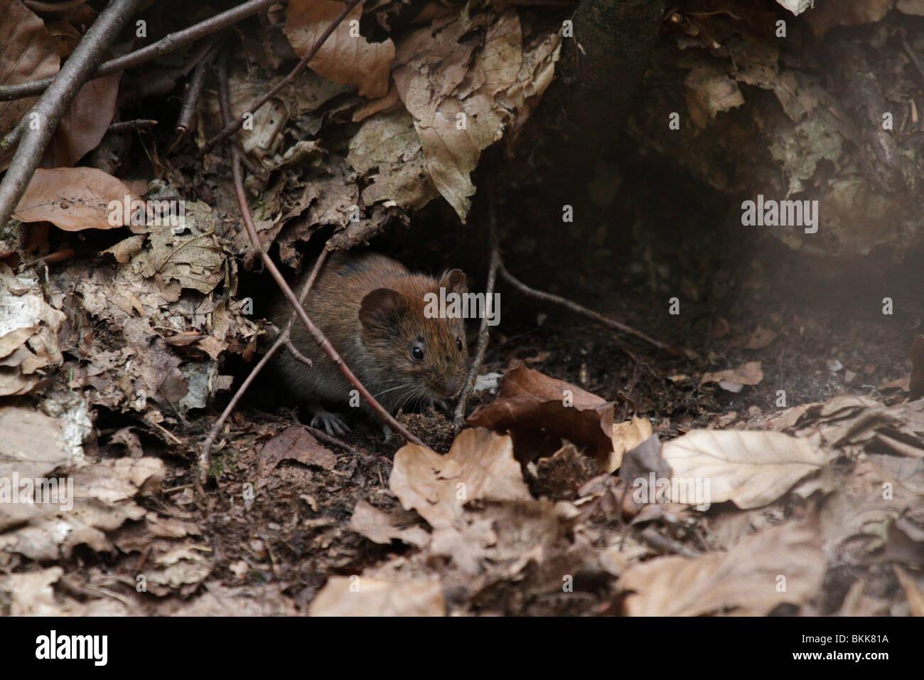 Bank vole mouse (Myodes glareolus) nel suo habitat naturale. Essi sono (abbastanza carino) vettori per i virus Hanta. Immagini Stock
