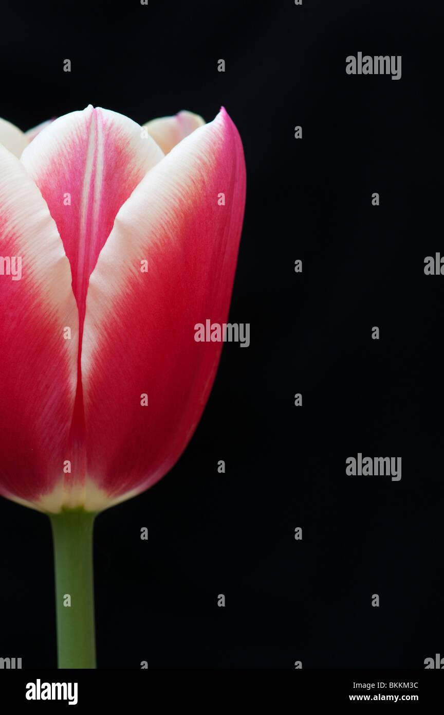 Tulip flower su sfondo nero Immagini Stock