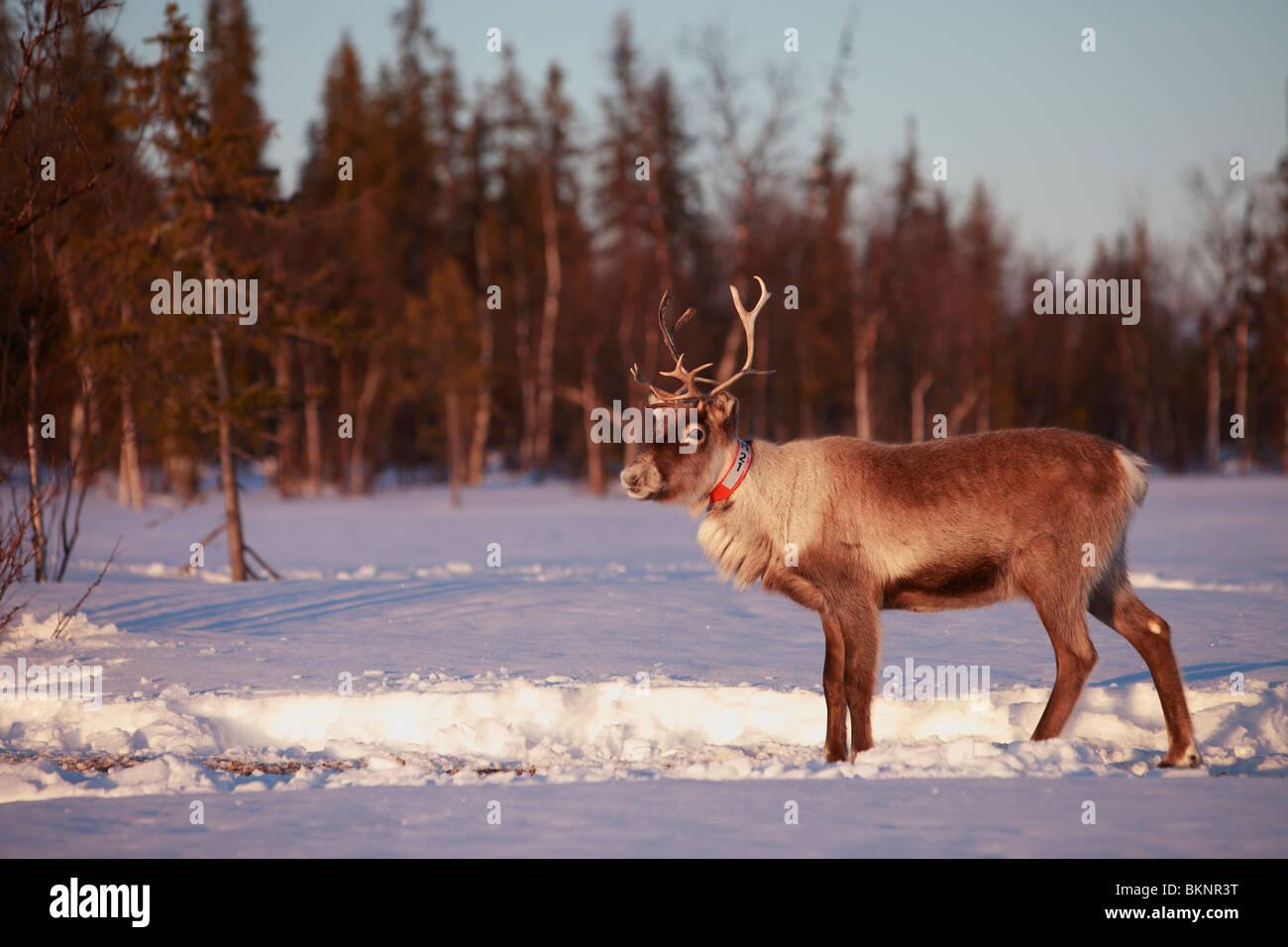 Il Sami annuale di primavera di migrazione delle renne da Stubba nr Gällivare in Svezia attraverso le loro Immagini Stock