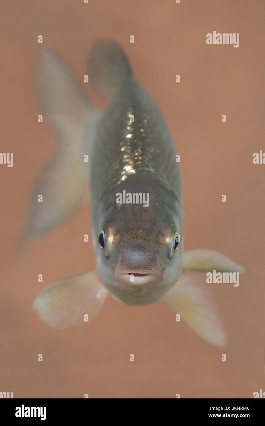 Staand portret van een volwassen sneep tegen een oranjebruine achtergrond; Verticale ritratto di un adulto nase Immagini Stock