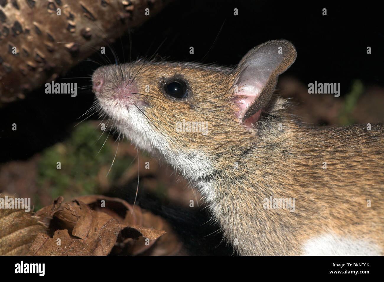 Portret van een grote bosmuis; Ritratto di un giallo-mouse a collo alto Immagini Stock
