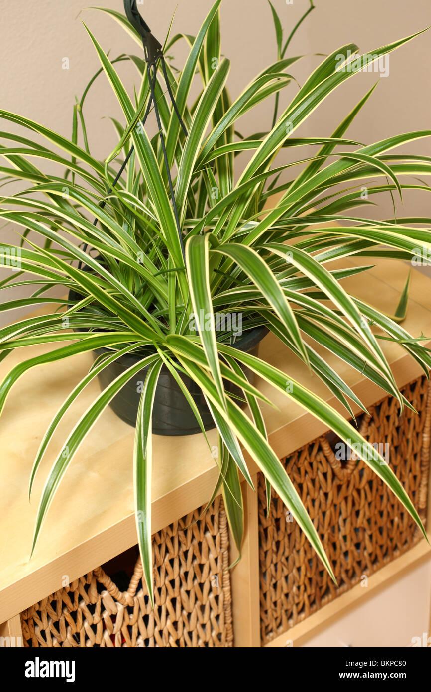 Impianto di ragno, Chlorophytum comosum Immagini Stock