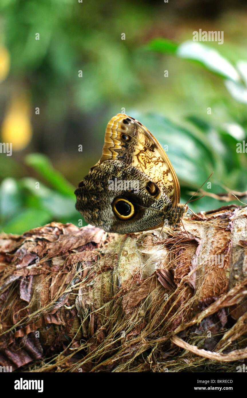 Farfalla civetta detta anche farfalla gufo o Caligo ripresa su tronco di pianta tropicale visione longitudinale Immagini Stock