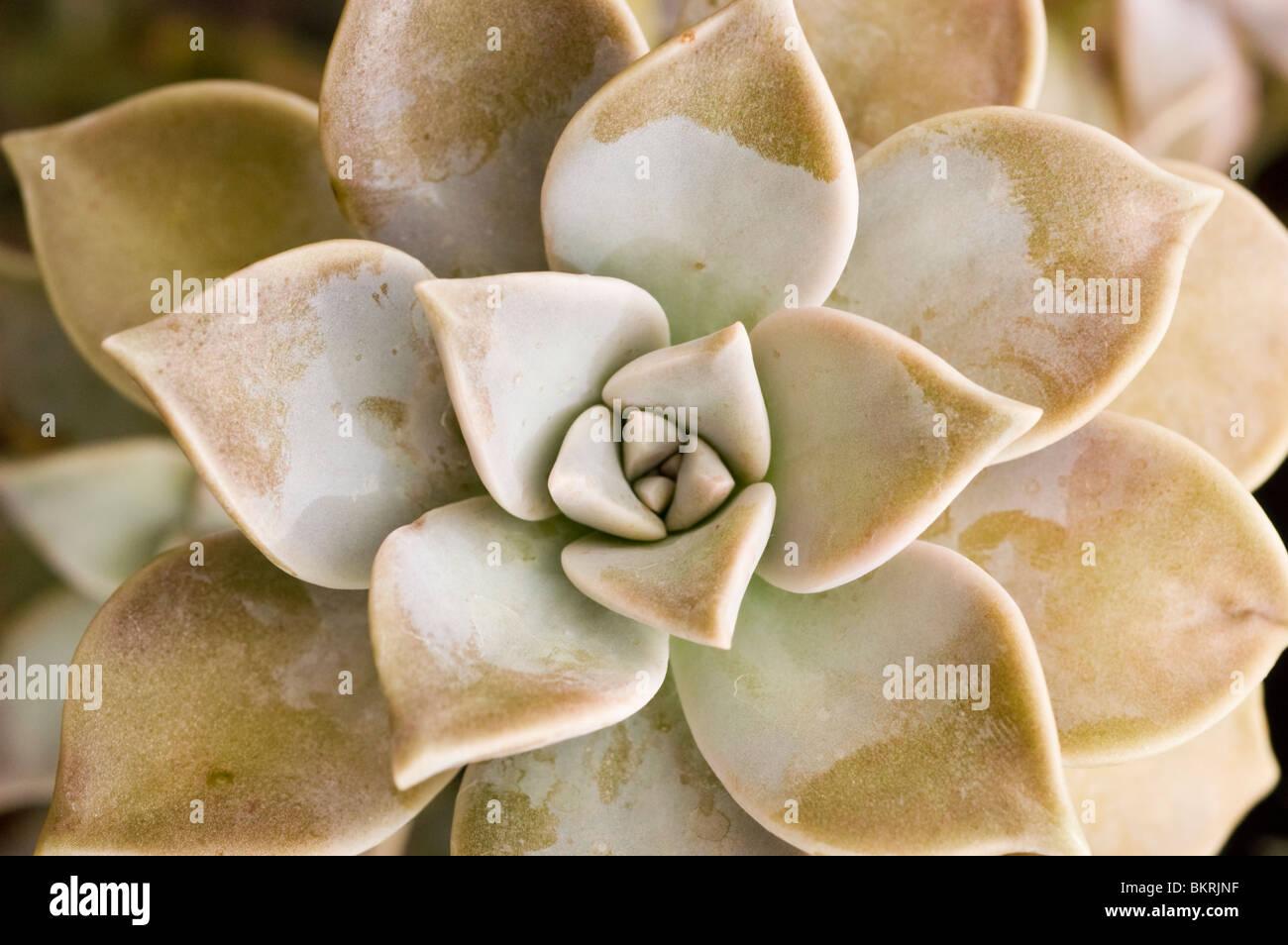 Impianto di Ghost, piante succulente, Graptopetalum paraguayense, Sedum weinbergii,, Piante succulente | Dicotiledoni, Immagini Stock