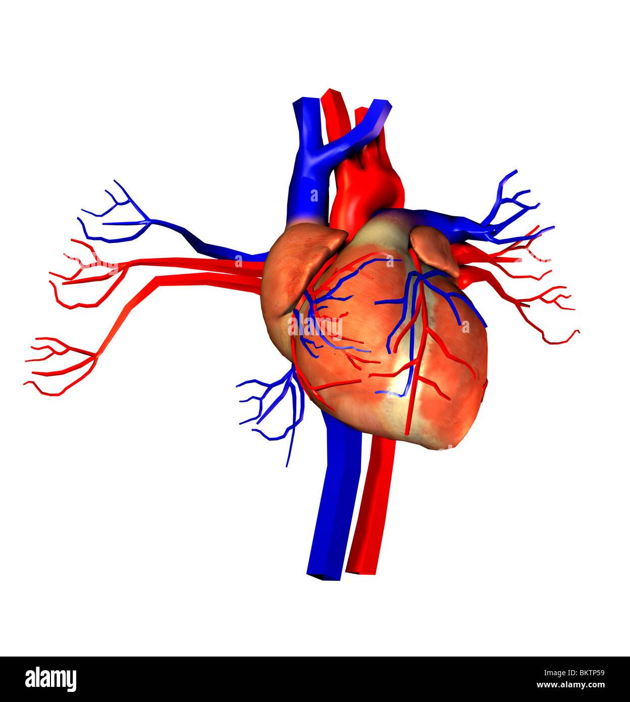 cuore Immagini Stock