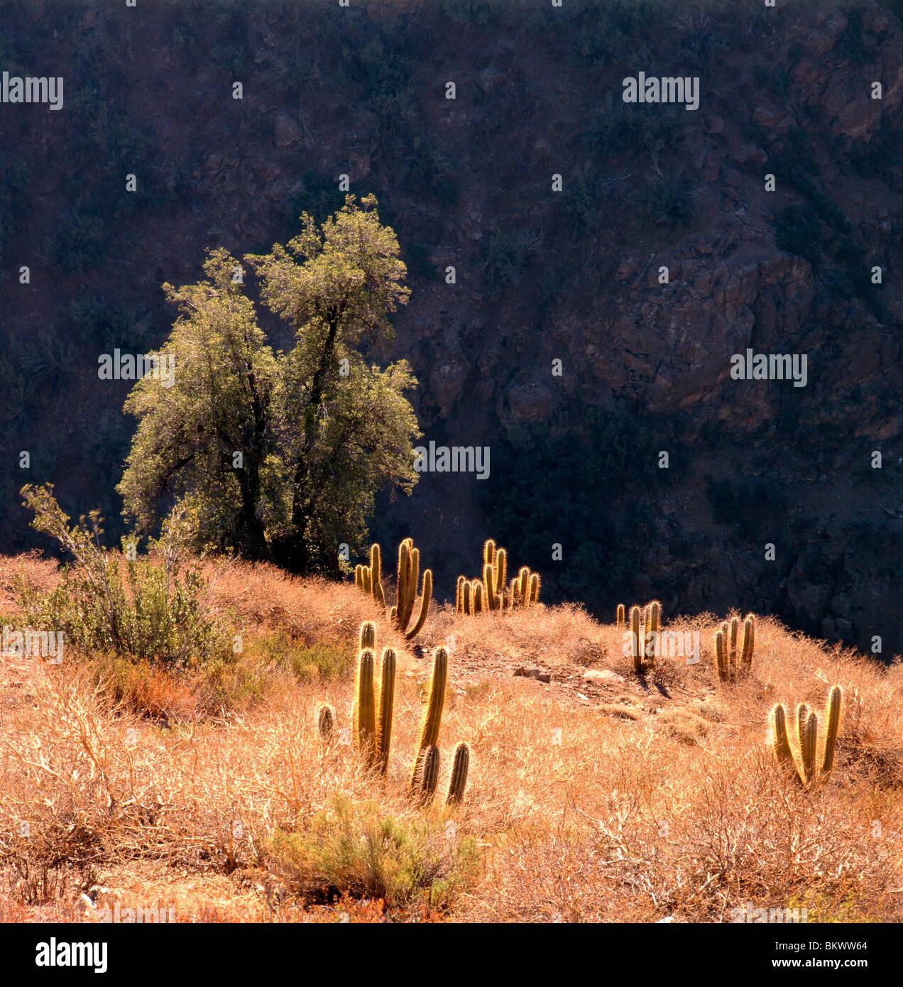 Backlit Cactus & Arbusto di albero in Cordillerano, a nord-est di Santiago del Cile Immagini Stock