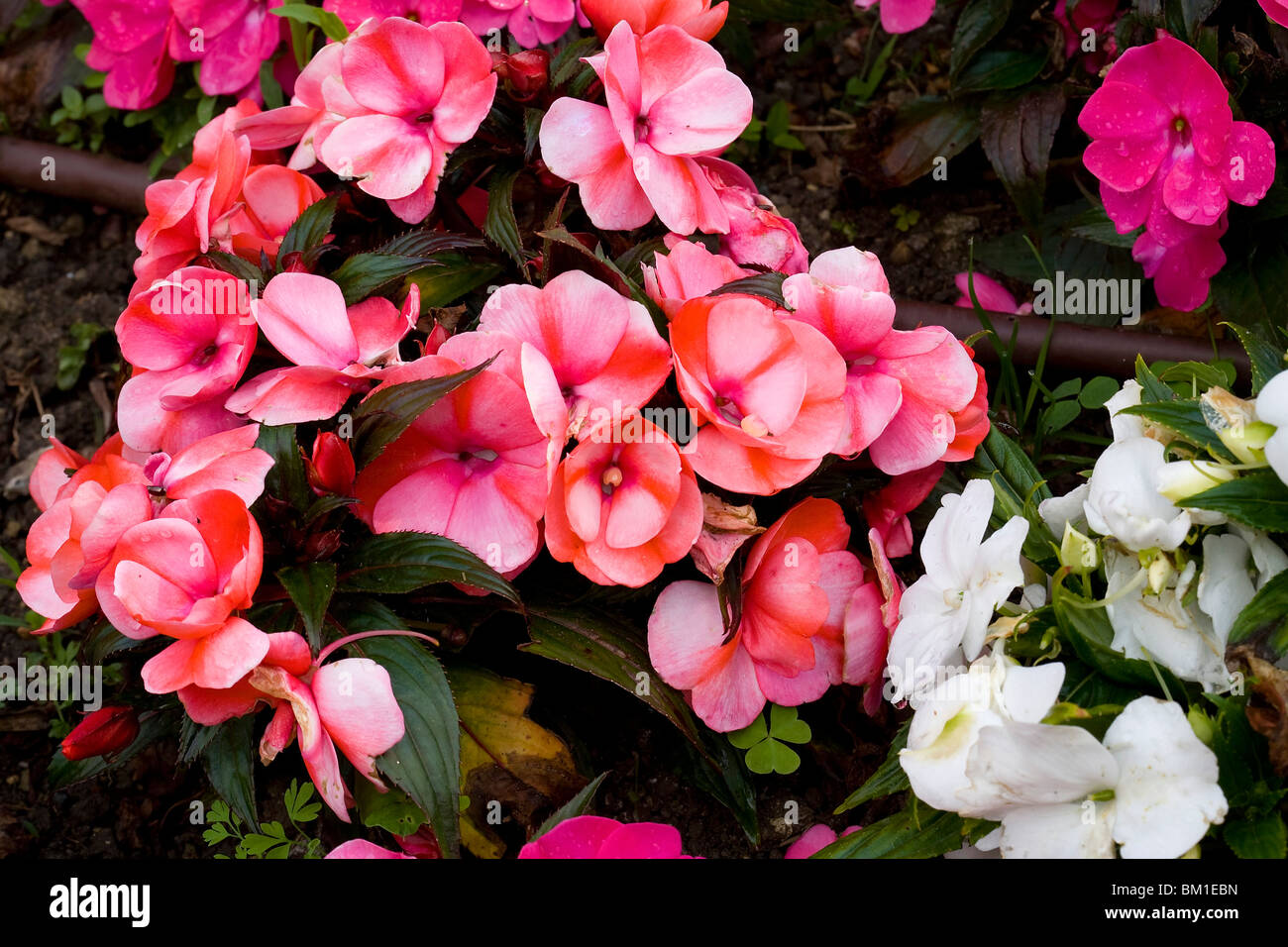 Fiori Di Vetro Nuova Guinea.Impatiens Flower Immagini Impatiens Flower Fotos Stock Alamy