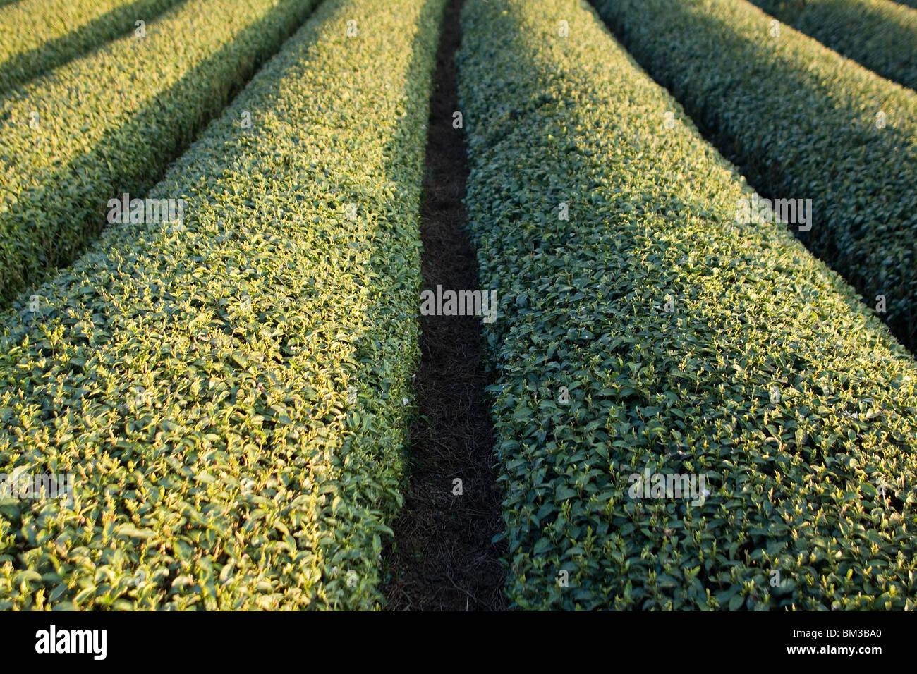 Giapponese del tè verde raccolto Immagini Stock