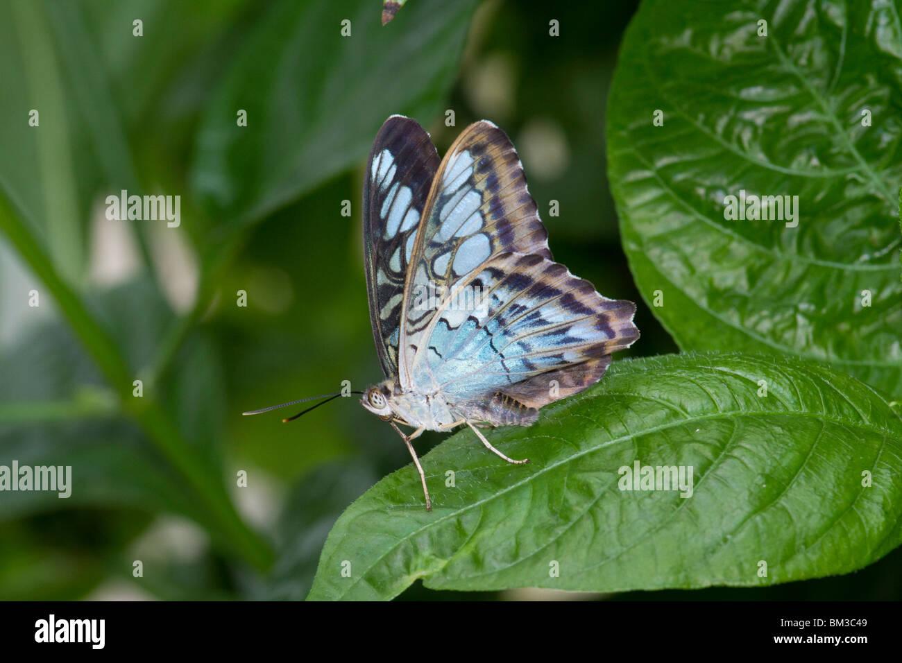 Parthenos sylvia o Blu Clipper asiatica Immagini Stock