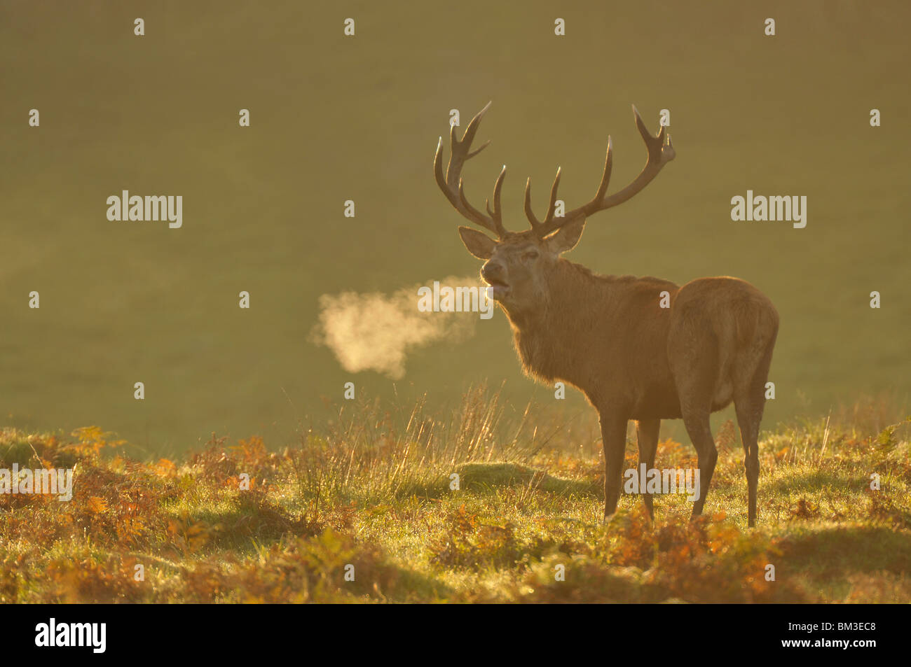 Il cervo (Cervus elaphus). Feste di addio al celibato in autunnali ruggente rut, Leicestershire, Regno Unito Immagini Stock