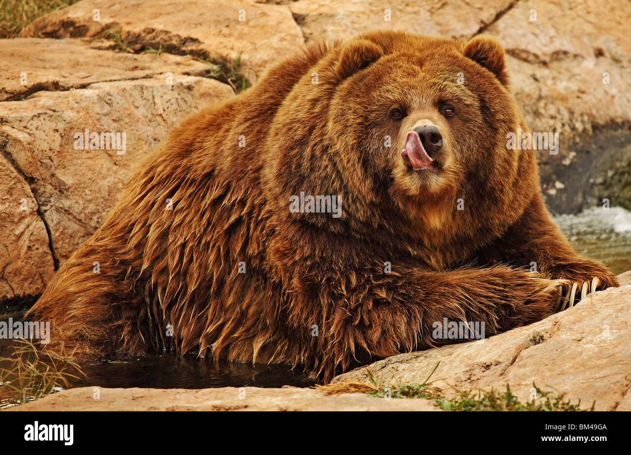 Bear leccare il naso Immagini Stock
