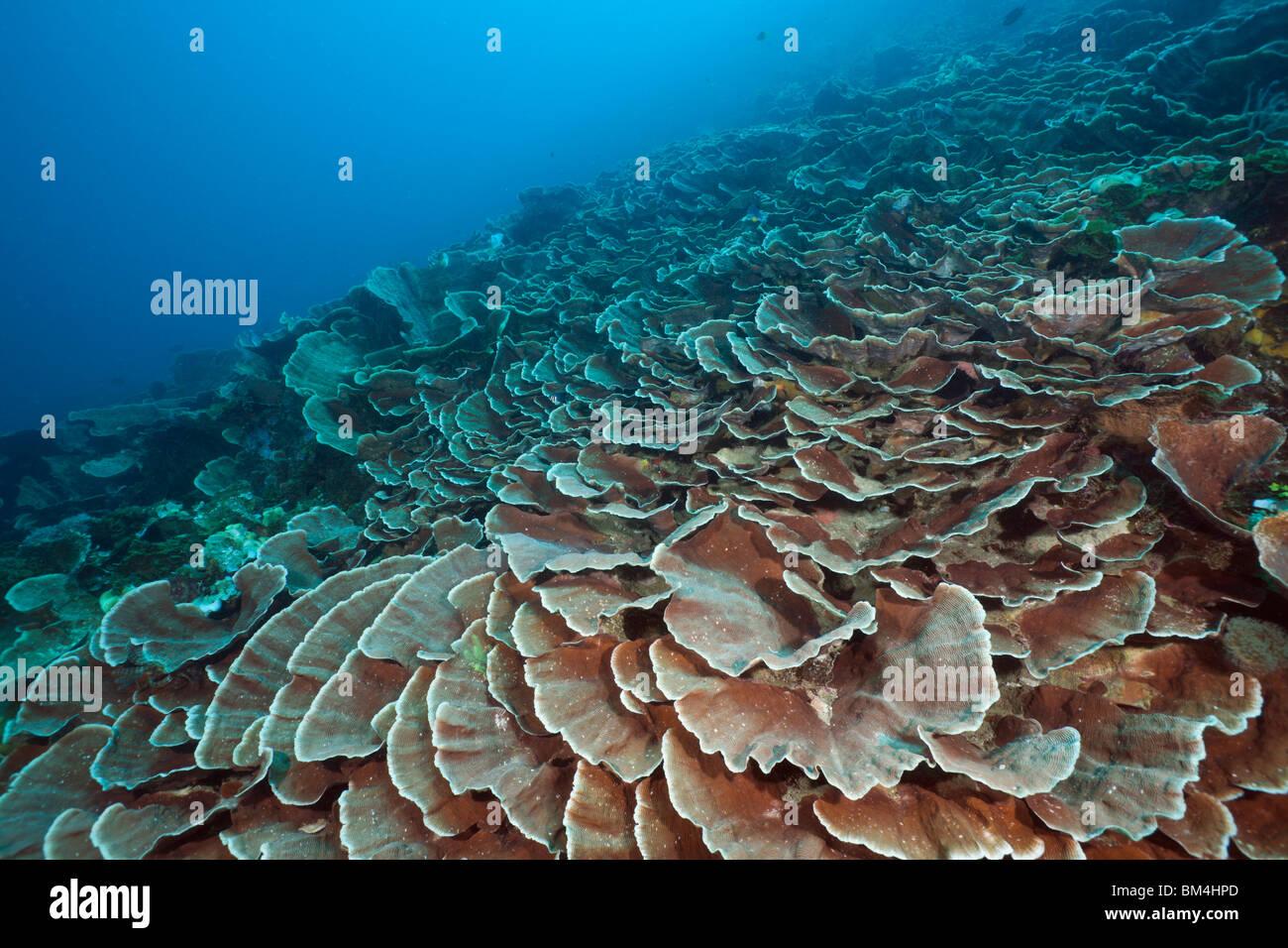 Hard Coral Reef, Pachyseris speciosa, Raja Ampat, Papua occidentale, in Indonesia Immagini Stock