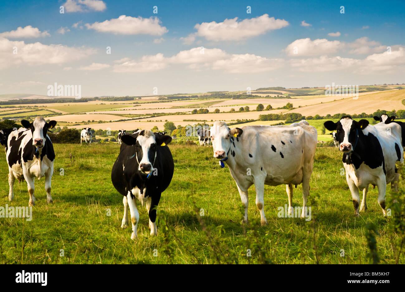 Bianco e nero Holstein il frisone vacche da latte in un campo in una giornata di sole con il Marlborough Downs nel Immagini Stock